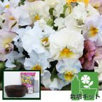 草花の苗/植え込みセット:パンジー:エディブルムーランフリルパステルルージュミックス