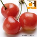 果樹の苗/サクランボ:さおり4.5号ポット
