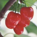 果樹の苗/サクランボ:紅きらり4.5号ポット