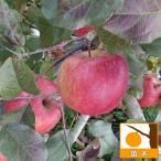 家庭でも育てやすいりんごの代表的品種 苗木