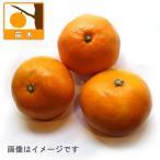 中生の温州みかん 柑橘・かんきつ類苗木