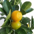 果樹の苗/キンカン:福寿4.5号ポット