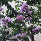 花木 庭木の苗/サルスベリ:紫花7号ポット樹高1.2〜1.5m