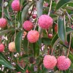 花木 庭木の苗/常緑ヤマボウシ:サマーグラッシー根巻き樹高1.2〜1.4m