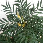 花木 庭木の苗/マホニア(ヒイラギナンテン):コンフューサ5号ポット