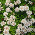 草花の苗/屋上緑化用イワダレソウ:クラピアK5 3号ポット