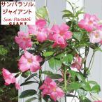 Yahoo!園芸ネット草花の苗/棚卸セール マンデビラ:サンパラソルジャイアントピンク3.5号ポット