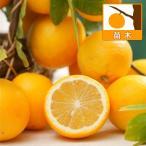 果樹の苗/レモン:スイートレモネード4号ポット