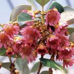 花木 庭木の苗/ロドレイヤ(シャクナゲモドキ):竹下性3.5号ポット