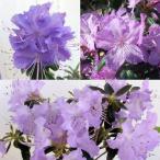 花木 庭木の苗/ブルーツツジ3種セット(クレーターレイク、さざなみ、黒潮)