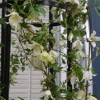 クレマチスの苗/クレマチス:シルホサ4.5号ポット(冬咲き・シルホサ系)
