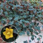 草花の苗/リシマキア:ペルシャンチョコレート3号ポット2株セット