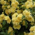 草花の苗/送料無料 モッコウバラ:黄花3号ポット(八重咲き)28株セット