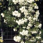 草花の苗/送料無料 モッコウバラ:白花八重3号ポット28株セット