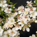 花木 庭木の苗/ニワザクラ(庭桜):白花一重4〜5号ポット
