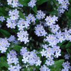 草花の苗/ワスレナグサ:モナミブルー3.5号ポット 3株セット