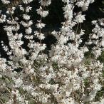 花木 庭木の苗/シロバナレンギョウ(ニオイウチワノキ)4号ポット