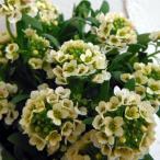 草花の苗/アリッサム:イースターボネット レモネード3号ポット 3株セット
