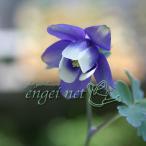 草花の苗/ミヤマオダマキ(紫花)2.5号ポット 2株セット