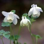 草花の苗/ミヤマオダマキ:白花2.5号ポット2株セット