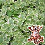 草花の苗/17年5月中旬予約 コリウス:こっちに来ないで!(犬猫よけ植物)バリエガータ斑入葉3〜3.5号ポット