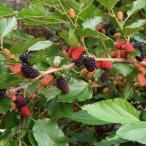 果樹の苗/マルベリー(桑):スイートマルベリー3.5号ポット
