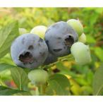 果樹の苗/ブルーベリー:チャンドラー4〜5号ポット