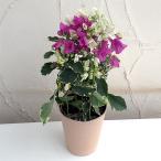 (開花終了株)ブーゲンビレア:ブルーハワイ(白とピンク)4.5号鉢植え