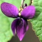 山野草の苗/ニオイスミレ:パメラザンブラ(紫)3〜3.5号ポット