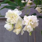 草花の苗/モッコウバラ:白花八重咲き3号ポット*