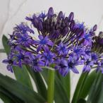サファイヤブルーは多数の星型の濃青色の小花を円錐型に咲かせるシラーで、とても丈夫な球根植物です。濃紫...
