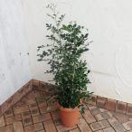 観葉植物/ゲッキツ(シルクジャスミン)8号鉢植え