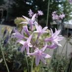 Yahoo!園芸ネット草花の苗/棚卸セール ツルバキア:シルバーレース4号ポット
