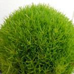 草花の苗/サギナ(アイリッシュモス):ライトグリーン3号ポット
