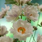 草花の苗 シュウメイギク 秋明菊 牡丹咲き3.5号ポット