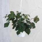 観葉植物/グレープアイビー(キッサスロンビフォリア)5号吊り鉢
