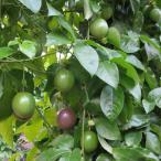 果樹の苗/パッションフルーツ(クダモノトケイソウ):パープル(紫玉100)大苗4号ポット2株セット
