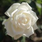 バラの苗/17年5月中旬予約 つるバラ:新雪(しんせつ)新苗
