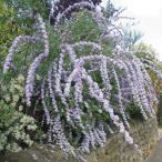 花木 庭木の苗/ブッドレア:アルテニフォリア5号ポット