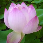 草花の苗/17年5月中旬予約 花はす:火花4.5号ポット