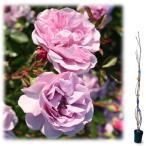 バラの苗/つるバラ:レイニーブルー大苗長尺6号ポット