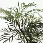花木 庭木の苗/マホニア(ヒイラギナンテン):青流(セイリュウ)5号ポット