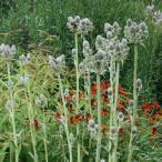 草花の苗/エリンジウム:ユッキフォリウム5号ポット10株セット