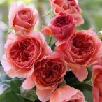ショッピングバラ バラの苗/F&Gローズ:かおりかざり大苗6号鉢植え