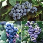果樹の苗/ブルーベリー:大実ハイブッシュ系5号3本セット(ブルーレカ・スパルタン・ダロー)