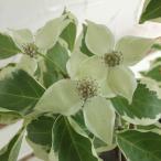 花木 庭木の苗/ヤマボウシ:ウルフアイ3.5号ポット