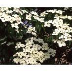 花木 庭木の苗/ヤマボウシ:シダレヤマボウシ3.5号ポット