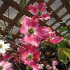 気品のある淡桃ぼかしの花