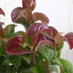 草花の苗/西洋イワナンテン(岩南天):カーリーレッド3号ポット