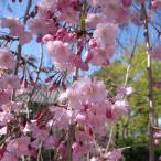 花木 庭木の苗/桜:八重紅枝垂れ接木苗4号ポット